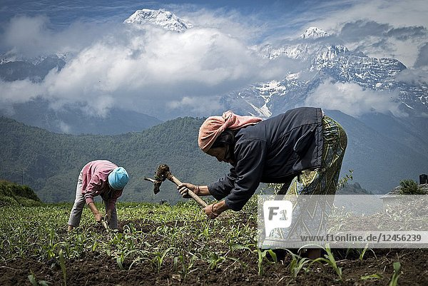 Mother and daughter harvesting in her corn field with Annapurnas range at background. Ghandruk. Annapurna trek. Nepal.