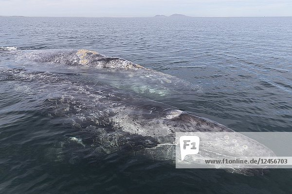 Central America  Mexico  Baja California Sur  Puerto San Carlos  Magdalena Bay (Madelaine Bay)  Gray Whale (Eschrichtius robustus)  mother and baby.