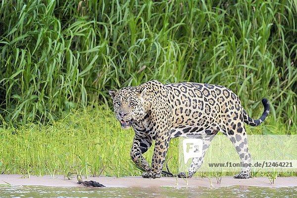 Jaguar (Panthera onca) walking on riverbank  looking at camera  Pantanal  Mato Grosso  Brazil.