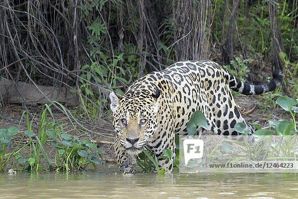 Jaguar (Panthera onca) stalking on riverbank  looking at camera  Pantanal  Mato Grosso  Brazil.