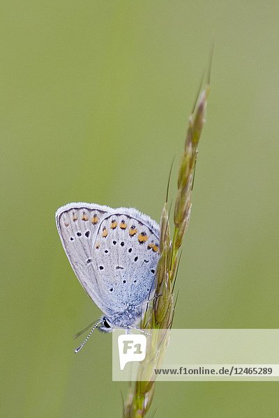 Idas Blue  Plebejus idas are myrmephilic Lycaenidae associatted withLasius and Fromica ants. Meadow grasslands with large variety of flowering plants  particularly Fabaceae. Idas Blue is identified by blue eyespots on the hindwing and distinct orange crescents on upper edge of wing.