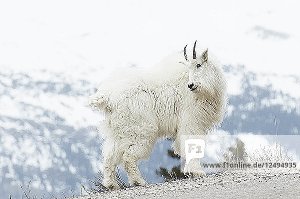 Mountain Goat Standing On Side Of The Road