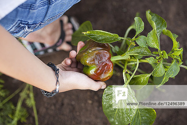 A Woman Harvests A Pepper From Her Garden In Fort Langley