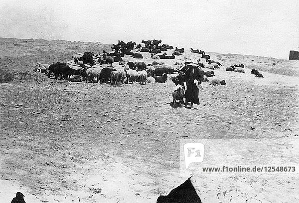 Sheep grazing outside Samarra  Mesopotamia  1918. Artist: Unknown