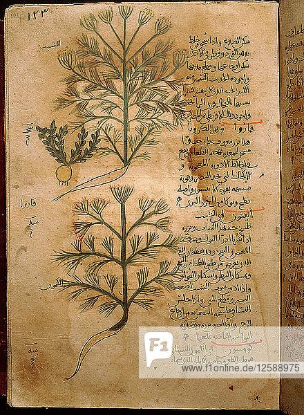 Folio 37r of the Arabic version of Dioscorides De Materia Medica.