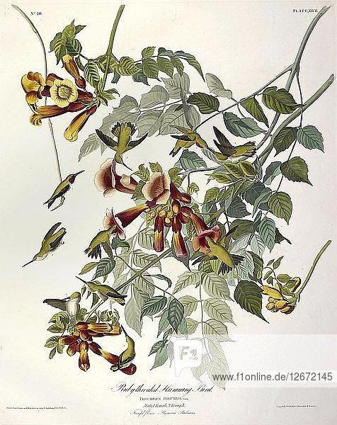 Ruby Throated Humming Bird  Trochilus Colubris  1845.