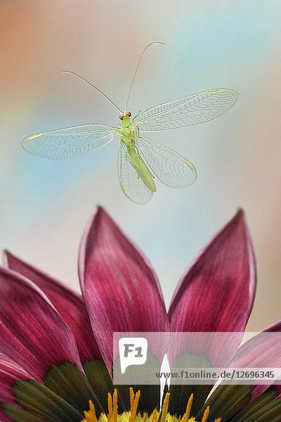 Gemeine Florfliege  Chrysoperia carnea