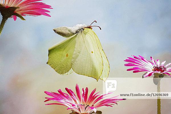Zitronenfalter  Gonepteryx rhamni Zitronenfalter, Gonepteryx rhamni
