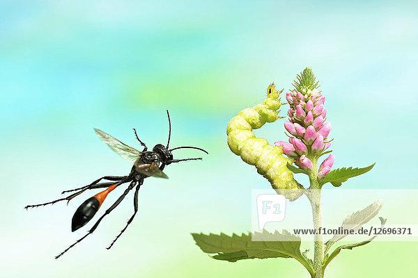 Gemeine Sandwespe,  Ammophila sabulosa