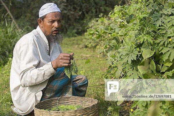 An old man picking fresh bitter melon (korola) at Jessore  Bangladesh.