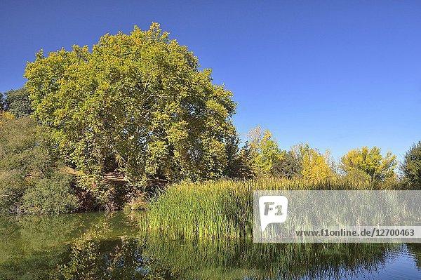 Río Manzanares  Parque regional  Madrid province  Spain.