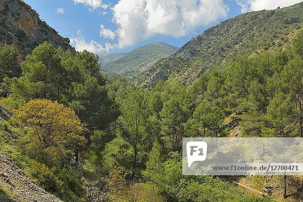 Pine grove in Bedmar river valley  Sierra Magina  Jaen province  Andalusia  Spain.