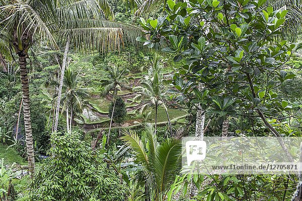 Rice terrace field and coconut plantation at Gunung Kawi The Rocky Temple  Tampaksiring  Bali  Indonesia.