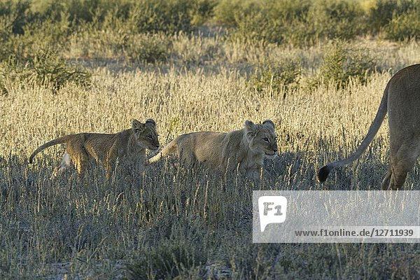 African lions (Panthera leo)  two lion cubs in the dry grass  walking next to their mother  Kgalagadi Transfrontier Park  Northern Cape  South Africa  Africa.