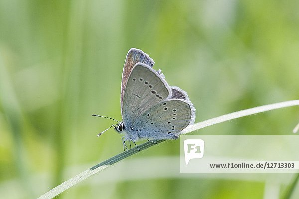 Small Blue  Cupido minimus. Wingspan 16-27mm. Food plants: Oxytropis campestris  Astragalus sp  Lotus sp  Coronilla  Medicago. Weak fluttery flight and found in deep grass or ground cover. Easily confused with C osiris as shares same habitat and looks similar..