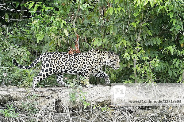 Jaguar (Panthera onca) walking along riverbank  Pantanal  Mato Grosso  Brazil.