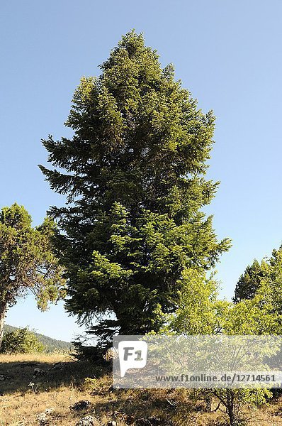 Caucasian fir (Abies nordmanniana) is a coniferous tree native to Caucasus and Turkey mountains. This photo was taken in Turkey.