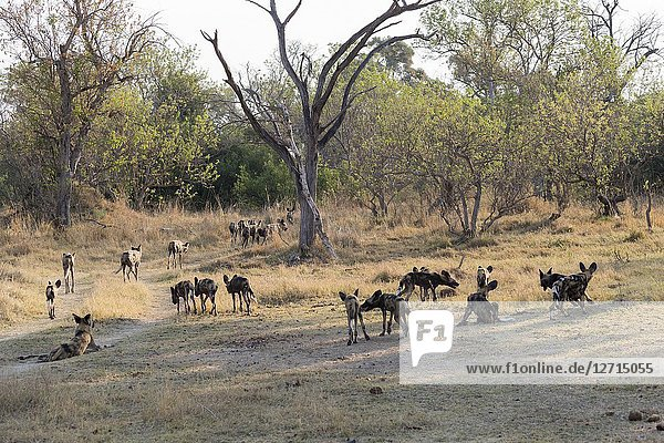 Africa  Southern Africa  Bostwana  Moremi National Park  African wild dog or African hunting dog or African painted dog (Lycaon pictus)  group.