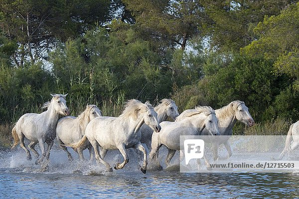 Camargue horses running through the water of a shallow lake in the Camargue in southern France.