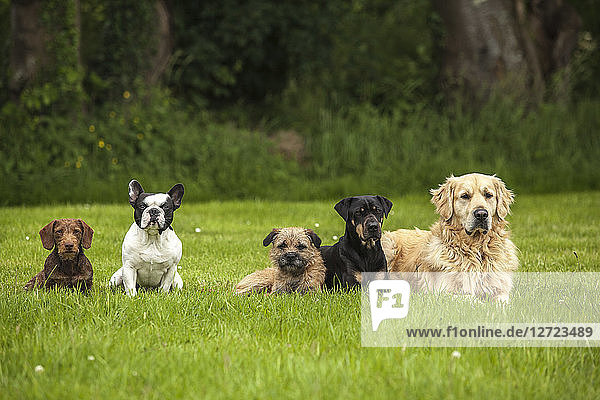 Five dogs lay done in the lawn looking in the same direction