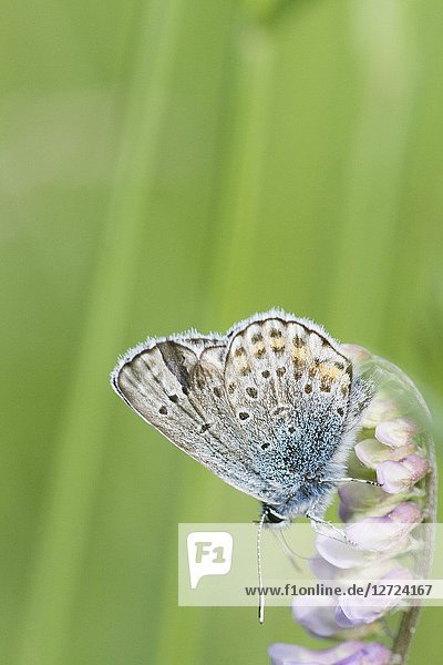 Amanda's Blue  Polyommatus amandus on Tufted Vetch  Vicia cracca.