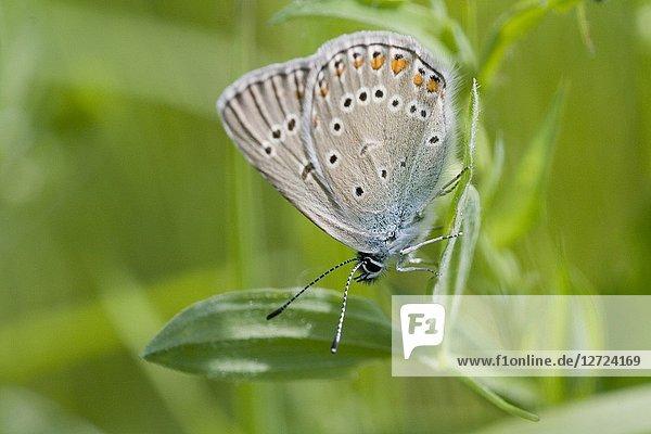 Amanda's Blue  Polyommatus amandus.