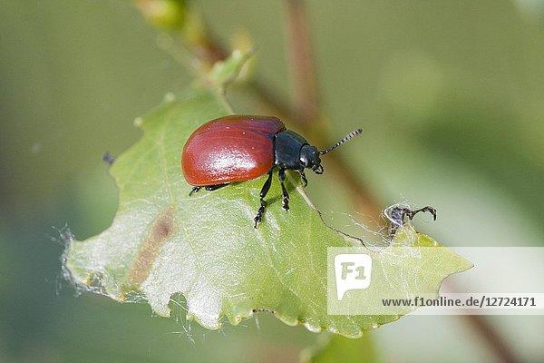 Red Poplar Beetle  Chrysomela populi  Balsam Poplar Leaf Beetle. Leaf beetle pest of alder  willow and poplar. Leaf skeletonizer of economic significance  feeding on Salicaceae  especially Populus and Salix sp. 10-12mm length.