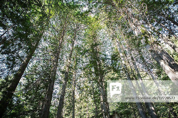 Looking skyward in an Old Growth forest in Kokanee Provincial Park in British Columbia  Canada.