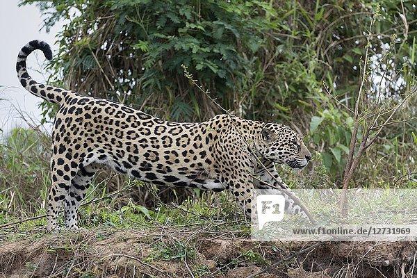 Jaguar (Panthera onca)  adult stretching on riverbank  Pantanal  Mato Grosso  Brazil.