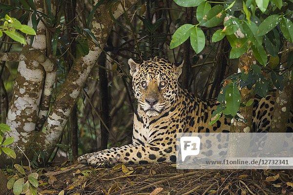 Jaguar (Panthera onca)  blind in one eye  in the Pantanal region  Mato Grosso  Brazil.