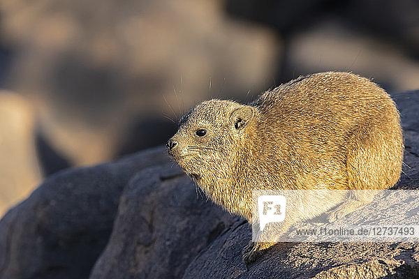 Namibia  Keetmanshoop  Rock dassie  Procavia capensis