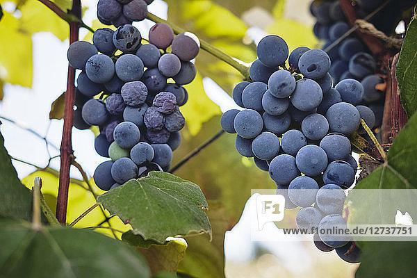 Blue grapes on vine stock