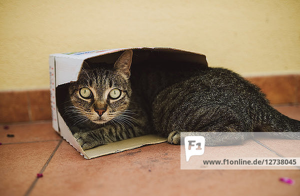 Portrait of tabby cat lying in a small cardboard box