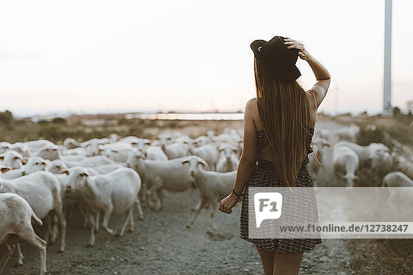 Back view of young woman walking in front of flock of sheep