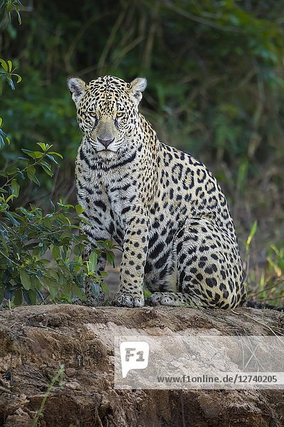 Adult Jaguar (Panthera onca) on the edge of a river  Pantanal  Mato Grosso  Brazil.