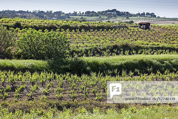 Small vineyard field  Huelva  Sevilla  Andalucia  Spain  Europe