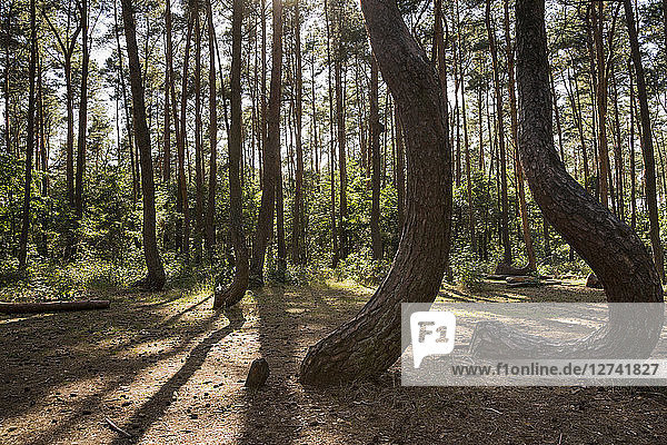 Poland  Nowe Czarnowo  Crooked Forest
