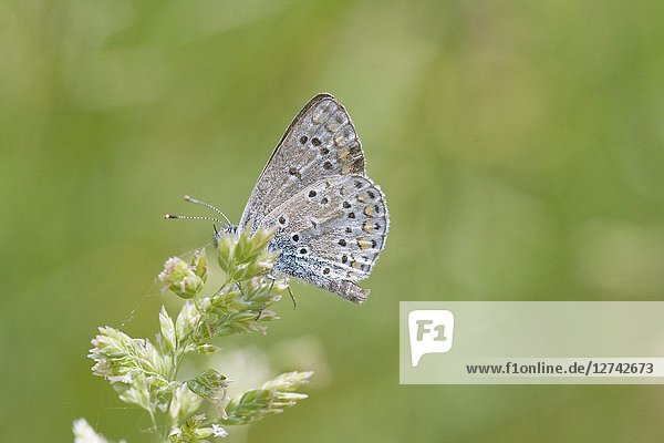 Brown Argus  Aricia agestis is myrmephilic blue butterfly that lays eggs on Geranium  Helianthemum and Erodium sp. with 2 broods a summer. Dwells in calcerous or chalk grasslands. Larvae is tended by ants in mutual relationship.