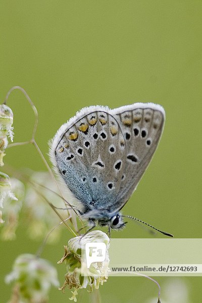 Common Blue Butterfly  Polyommatus icarus.