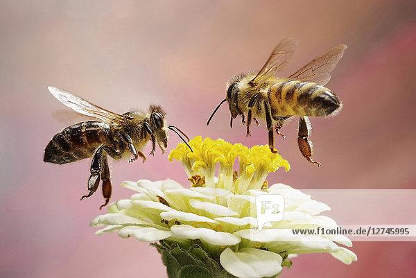 Zwei Honigbienen,  Apis mellifer