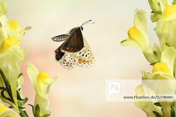 Hauhechel-Bläuling  Polyommatus icarus