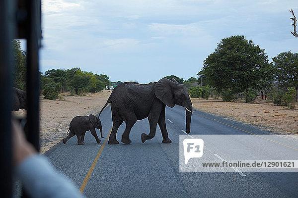 Elefantenbaby und erwachsener Elefant überqueren Straße  Kasane  Nordwesten  Botswana