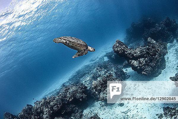 Hawksbill turtle  Cozumel  Quintana Roo  Mexico