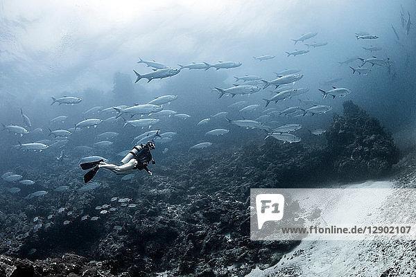 Freediver with tarpon aggregation  Xcalak  Quintana Roo  Mexico