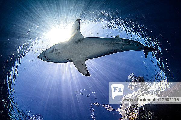 Grosser Weisser Hai unter Taucher auf Boot  Guadalupe  Mexiko