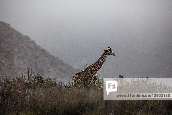 Giraffe (Giraffa camelopardalis)  Touws River  Western Cape  South Africa
