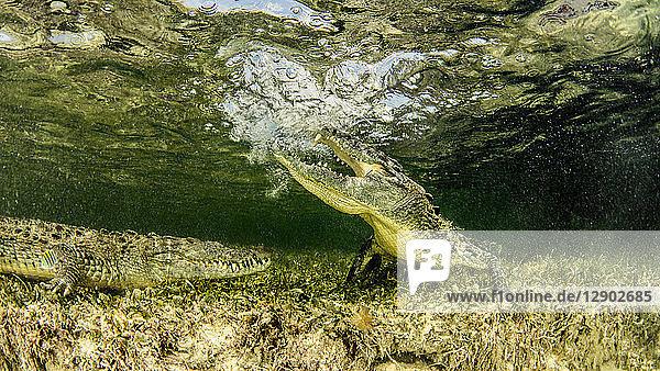 Chinchorro Banks Amerikanische Krokodile  Xcalak  Quintana Roo  Mexiko