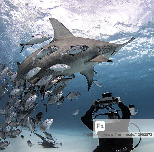 Diver taking photograph of great hammerhead shark,  Alice Town,  Bimini,  Bahamas
