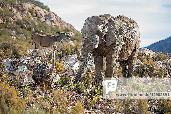 African elephant (Loxodonta) and Ostrich (Struthio camelus)  Touws River  Western Cape  South Africa