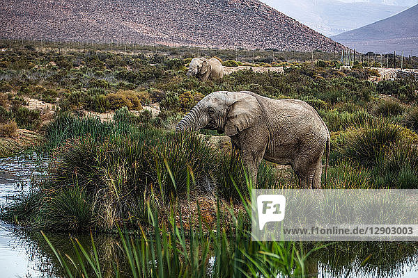 African elephants (Loxodonta) grazing  Touws River  Western Cape  South Africa